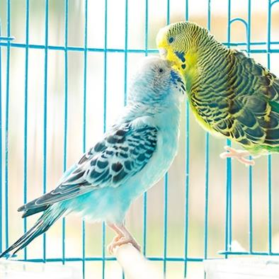pair of parakeets kissing in a cage